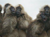 A Family of Female Gelada Baboons Huddled Together Photographic Print by Michael Nichols