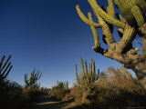 Giant Cardon Cacti Line a Small Dirt Road in Baja Photographic Print by Michael S. Lewis