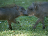 Two Juvenile Warthogs at Play Photographic Print by Roy Toft