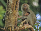 A Mother and Infant Monkey Sit on a Tree Limb Photographic Print by Tim Laman