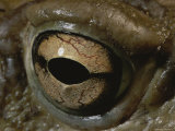 A Close View of the Eye of a Sororan Desert Toad (Bufo Alvarius) Photographic Print by George Grall