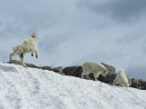 Rocky Mountain Goat Kids (Oreamnos Americanus) Frolic in the Snow Photographie par Tom Murphy