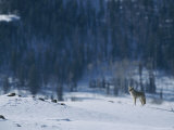 A Coyote Surveys a Snowy Landscape Near the Edge of a Forest Photographic Print by Tom Murphy