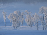Frost Covered Cottonwood Trees in a Snowy Landscape Photographic Print by Tom Murphy