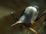 A Green-Backed Heron Hunts for Fish Photographic Print by Norbert Rosing