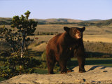 An American Black Bear Stands Atop a Rock Photographic Print by Norbert Rosing