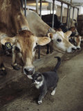 A Cat Accepts a Lick from a Cow at a Dairy Farm in Massachusetts Lámina fotográfica por Ira Block