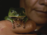 A Person Holds a Phyllomedusa Bicolor Frog on a Finger Photographic Print by George Grall