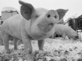 Close View of a Young Pig in a Snowy Pen Photographic Print by Joel Sartore