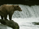 A Grizzly Bear Waits Patiently Near a Waterfall for Passing Fish Photographic Print by Tom Murphy