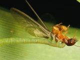 An Eupithecia Orichloris Caterpillar Grasps a Termite it Caught Photographic Print by Darlyne A. Murawski