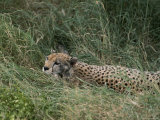 A Cheetah Lying in Grass in the Serengeti National Park Photographic Print by Annie Griffiths