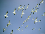 A Flock of Gulls in Flight Photographic Print by Bill Curtsinger