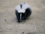 A Close View of a Striped Skunk in the Foothills of Los Angeles Photographic Print by Joel Sartore