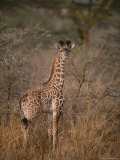 A Young Reticulated Giraffe, Giraffa Reticulata Photographic Print by Tim Laman