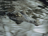 A Spectacled Caiman Swims Through a Stream in Venezuela Photographic Print by Ed George