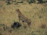 An Alert Cheetah Observes its Surroundings Photographic Print by Marc Moritsch