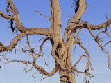 A Drought-Stricken Tree Holds out Skeletal Branches to the Sky Photographic Print by Jason Edwards