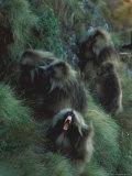 A Male Gelada, with a Group of Females, Bares His Teeth Aggressively Photographic Print by Michael Nichols