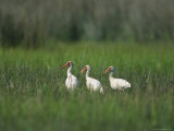 View of Ibises Photographic Print by Stephen Alvarez