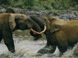 Two Young Male Forests Elephants Spar in the Water of a Bai Photographic Print by Michael Nichols