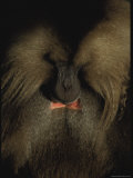 A Portrait of a Gelada Baboon with its Head Bowed Photographic Print by Michael Nichols