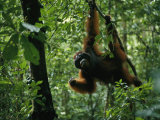 A Male Orangutan Feeds on Fresh Fruit Plucked from a Tree Photographic Print by Tim Laman
