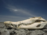 An Orinoco Crocodile Skull Bleached White Sits on a Rocky Shore Photographic Print by Ed George