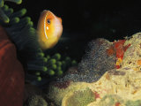 A Clownfish Guards its Nest of Eggs Photographic Print by Heather Perry