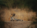 Bengal Tigress Snarls at Her Cubs for Wandering Too Far Photographic Print by Jason Edwards