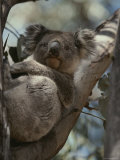 Koala in Tree Photographic Print by Jason Edwards