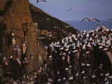 Northern Gannets Fly About the Cliffs Where They Roost Photographic Print by Medford Taylor