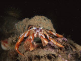 An Acadian Hermit Crab Scurries Across the Ocean Floor Photographic Print by Brian J. Skerry