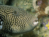 A Close View of a Map Puffer Fish, Arothron Mappa Photographic Print by Tim Laman