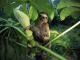 A Three-Toed Sloth Feeds on the Leaves of an Ambaibo Tree Photographic Print by Joel Sartore