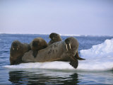A Group of Walruses Relax on an Ice Floe Photographic Print by Norbert Rosing