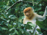 Portrait of a Young Proboscis Monkey in Dense Foliage Photographic Print by Tim Laman