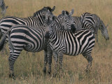Zebras in the Serengeti National Park Photographic Print by Annie Griffiths