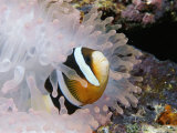 A Clarks or Yellow-Tailed Anemonefish in a Bleached Anemone Photographic Print by Tim Laman