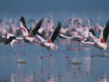 Greater Flamingos Run Through Shallow Water as They Take Flight Photographic Print by Roy Toft