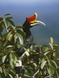 A Rhinoceros Hornbill Perched in the Crown of a Fruiting Fig Tree Photographic Print by Tim Laman