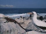 A Blue-Faced Booby and Marine Iguanas on a Rocky Galapagos Shore Photographic Print by Annie Griffiths