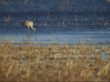 A Rare Japanese Red-Crowned Crane Hunts in Shallow Water Photographic Print by Tim Laman