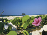 Flowering Vine on Beach Photographic Print by Ed George