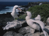 A Blue-Faced Booby Parent and Chick on a Rocky Galapagos Shore Photographic Print by Annie Griffiths