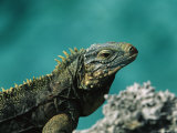 A Cuban Iguana, Cyclura Nubila, Rest on a Shoreside Rock Photographic Print by Steve Winter