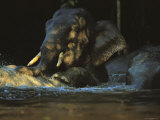 A Borneo Asian Elephant Splashes in a Shady River Photographic Print by Tim Laman