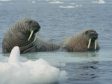 A Pair of Walruses Sit on a Submerged Ice Floe Photographic Print by Norbert Rosing