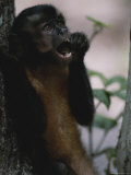 Close View of a Capuchin Monkey Eating Photographic Print by Annie Griffiths