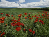 Beautiful Red Poppies Line a Roadside Field Near Moscow, Idaho Photographic Print by Michael Melford